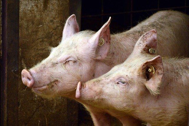 屠殺場の豚